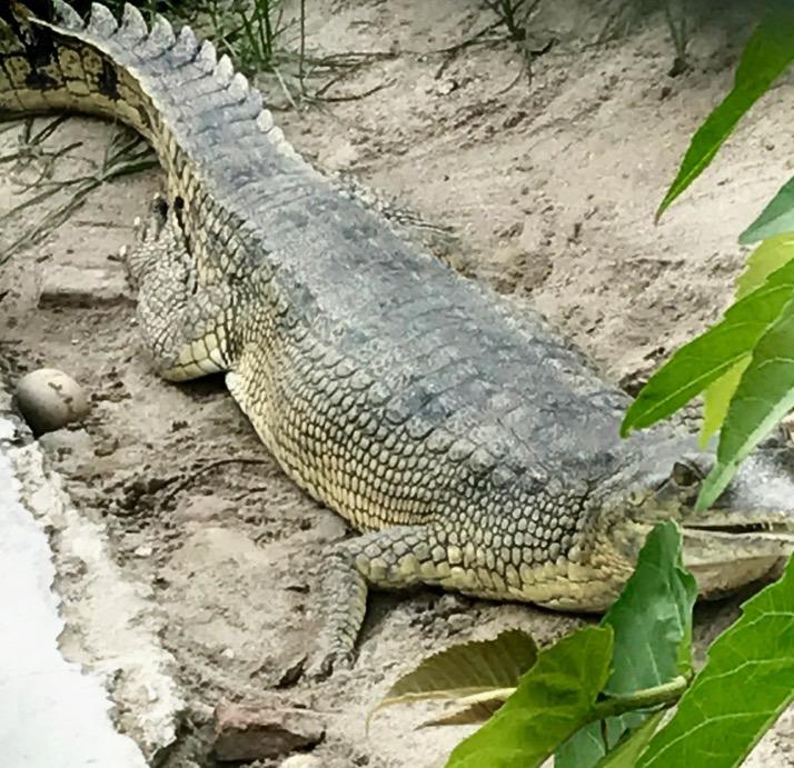 Chitwan national park, nepal with kids crocodile