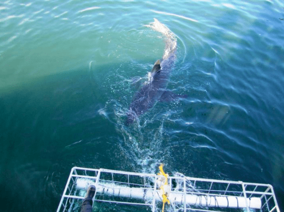 shark cage diving in south africa with the family.  Bucket list moment