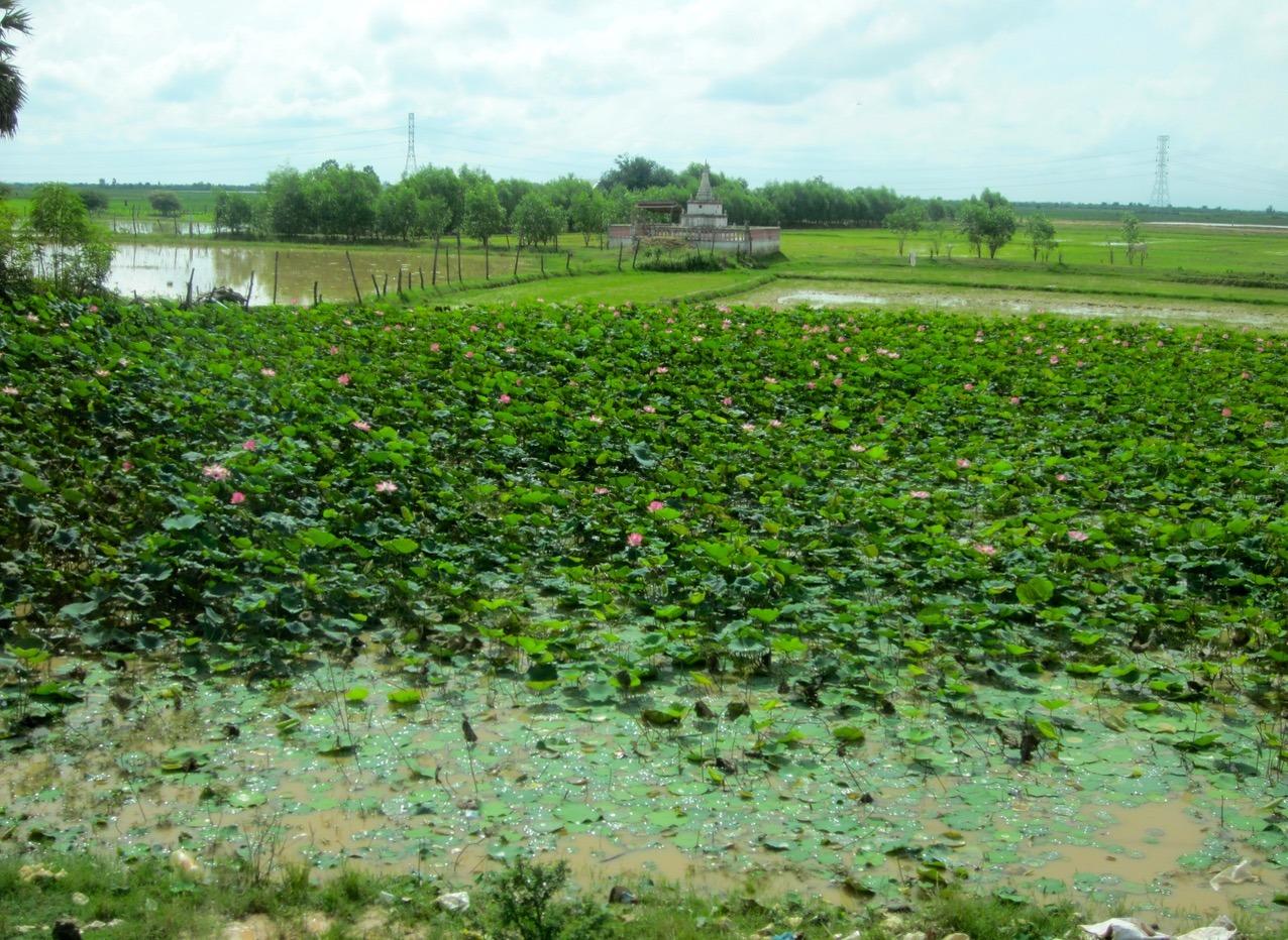 cambodia phnom penh siem reap rice fields