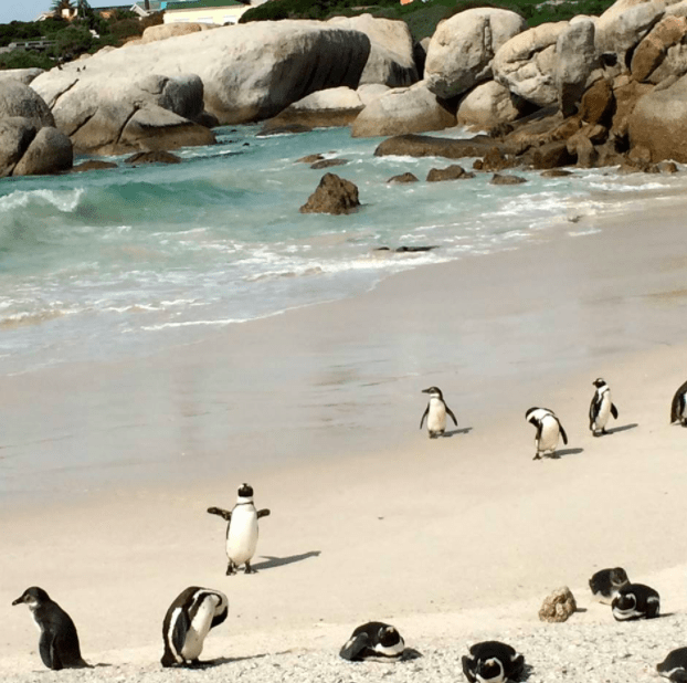 penguins boulder beach