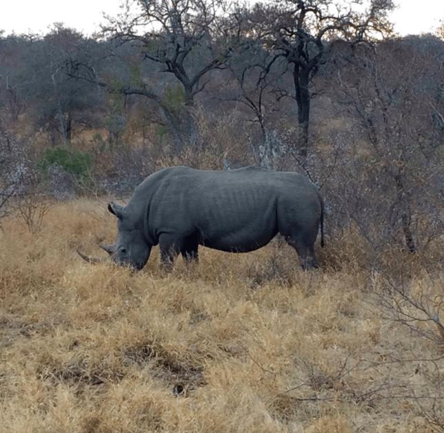 africa safari southafrica black rhino