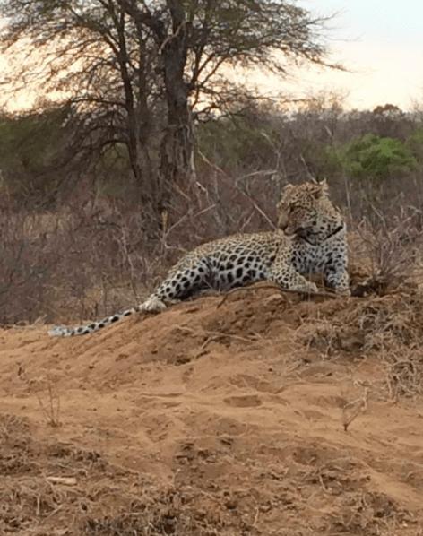 leopard africa safari southafrica big5