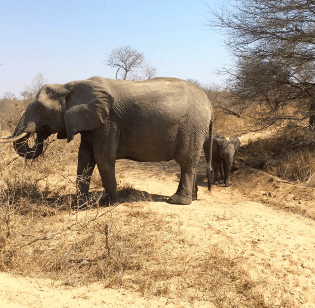 elephant africa safari southafrica big5