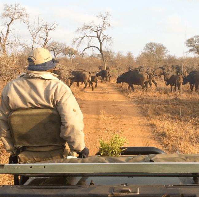 africa safari southafrica buffalo