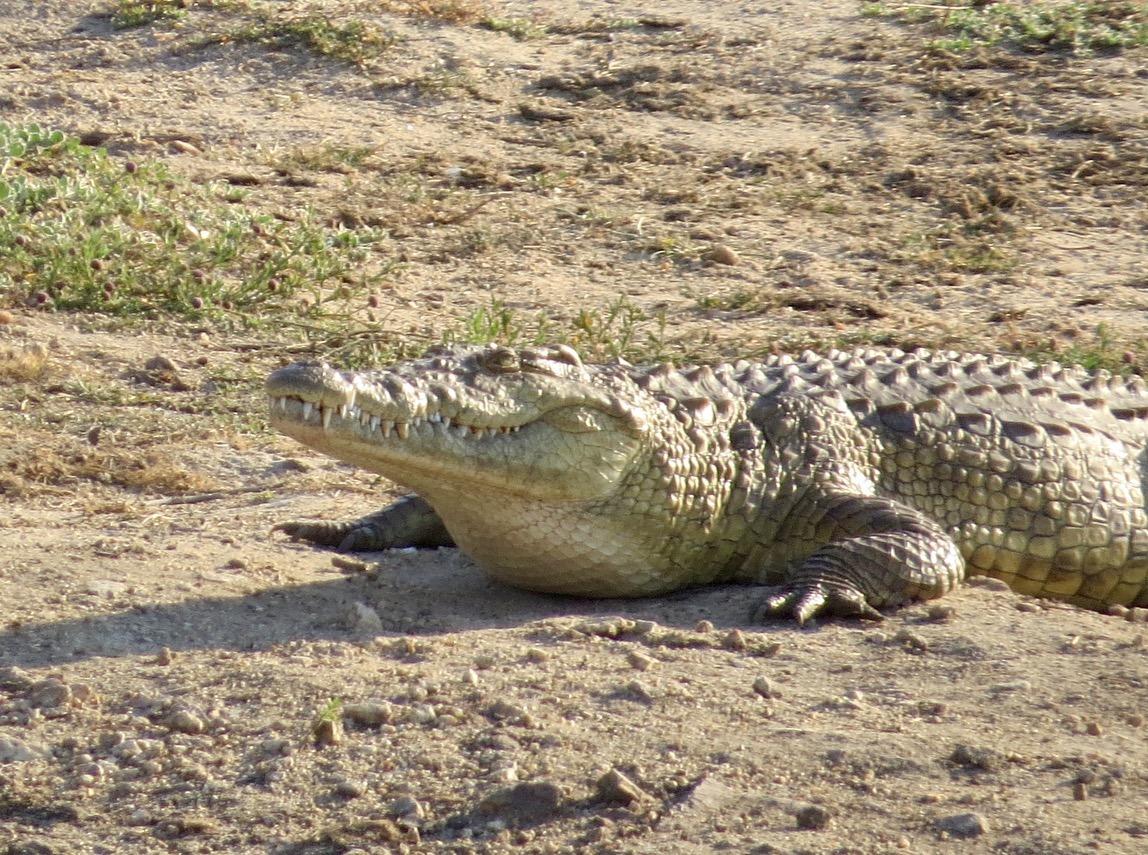 africa safari southafrica crocodile