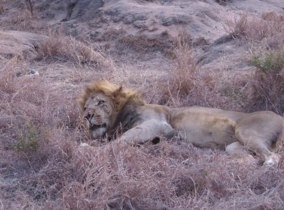 africa safari southafrica big5 sleeping lion