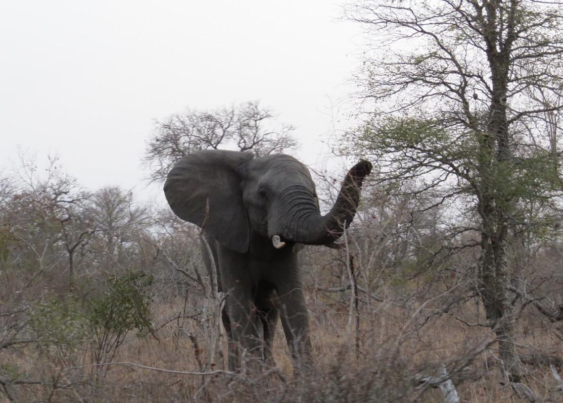 africa safari southafrica big5 angry elephant