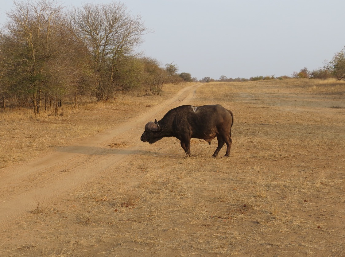 buffalo africa safari southafrica big5