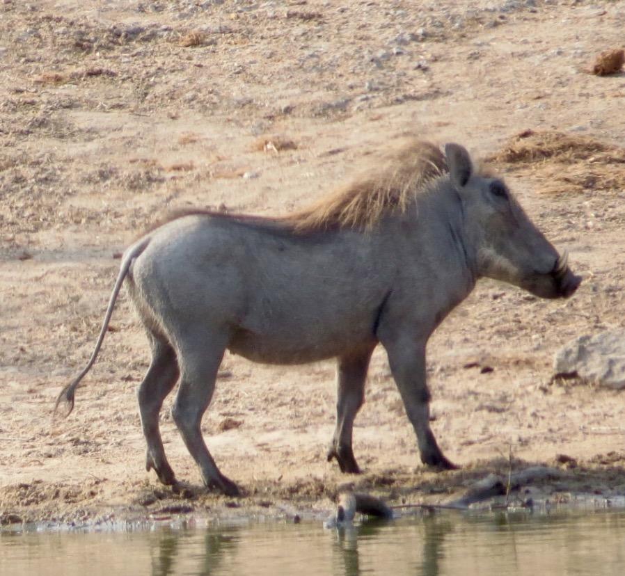 africa safari southafrica big5 warthog