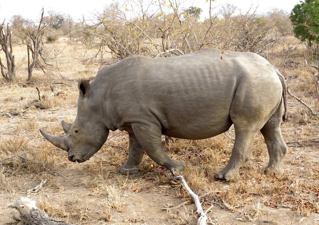 rhino africa safari southafrica