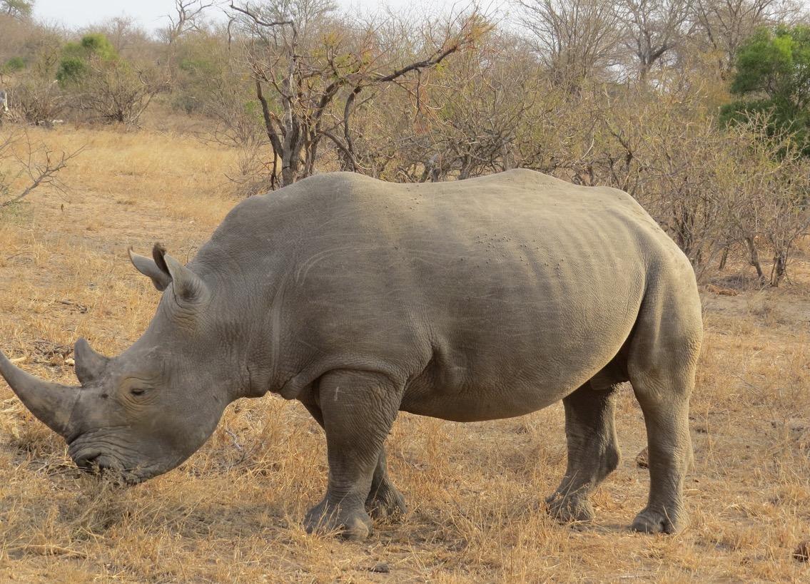 africa safari southafrica rhinos