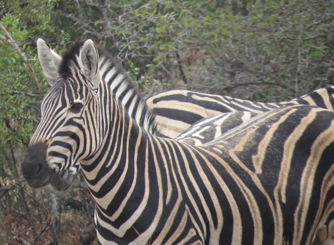 africa safari southafrica big5 zebra