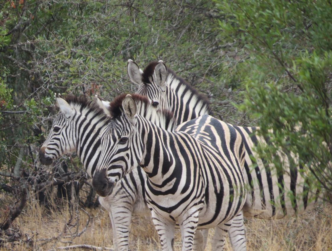 africa safari southafrica zebra