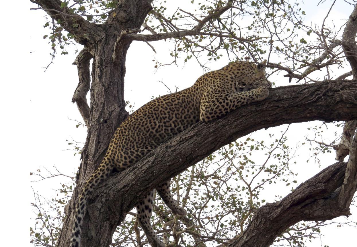 africa safari southafrica big5 leopard