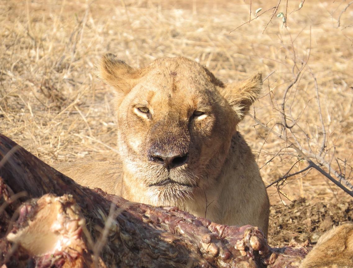 africa safari southafrica big5 kill