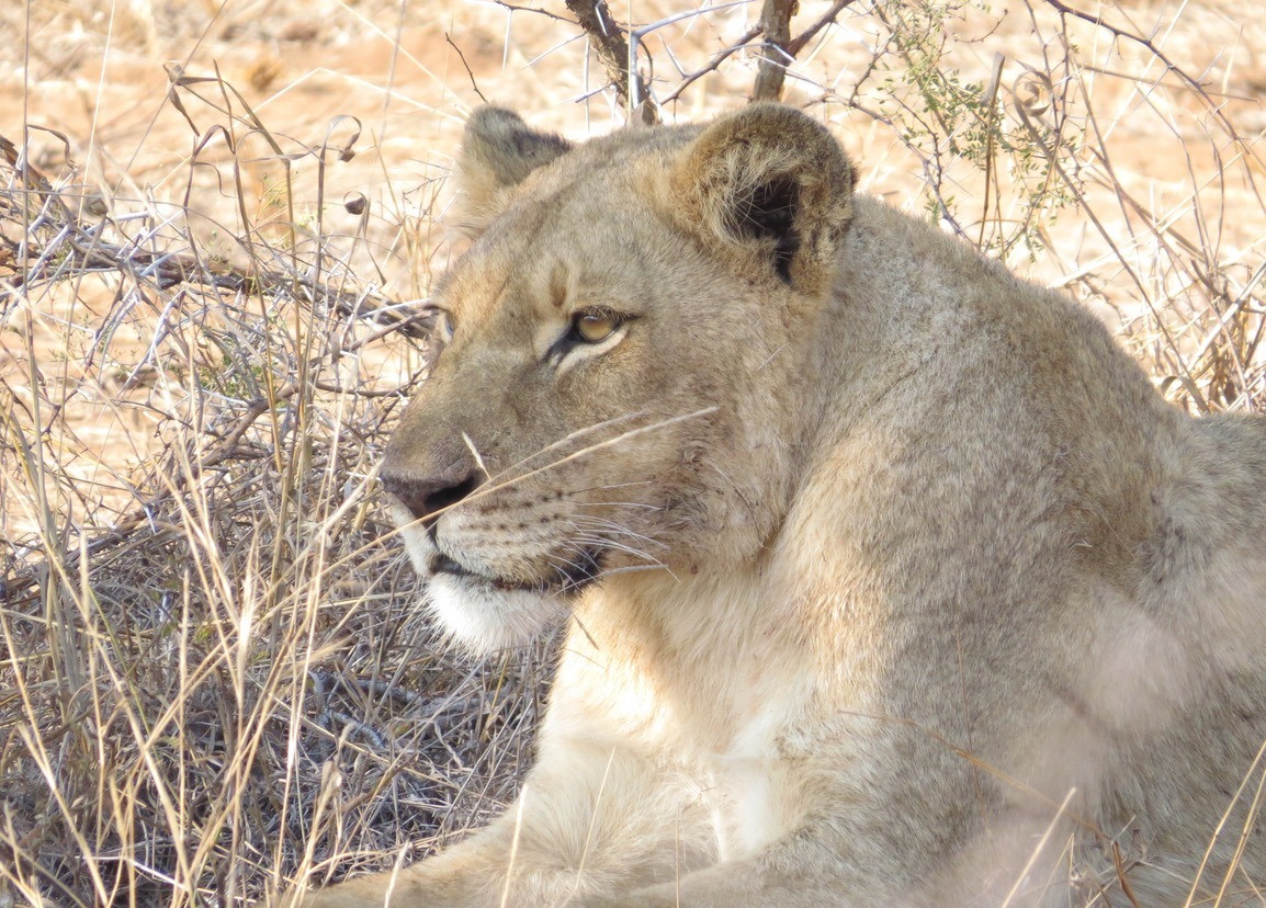 africa safari southafrica lioness
