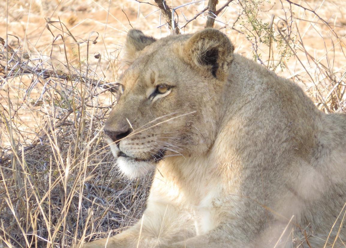 africa safari southafrica lioness
