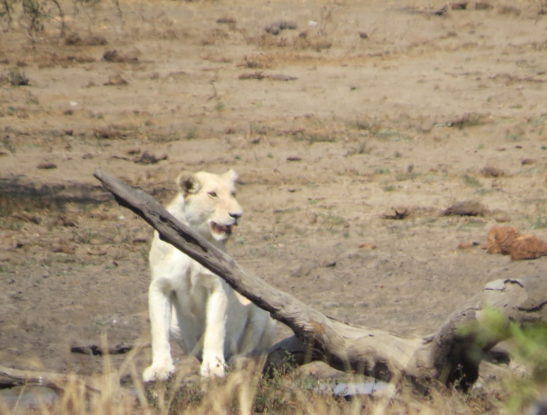 africa safari southafrica big5 white lion