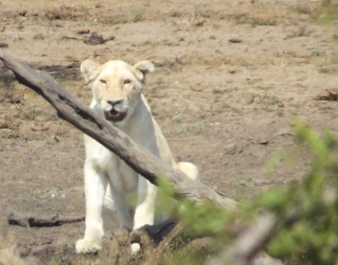 white lioness africa safari southafrica big5