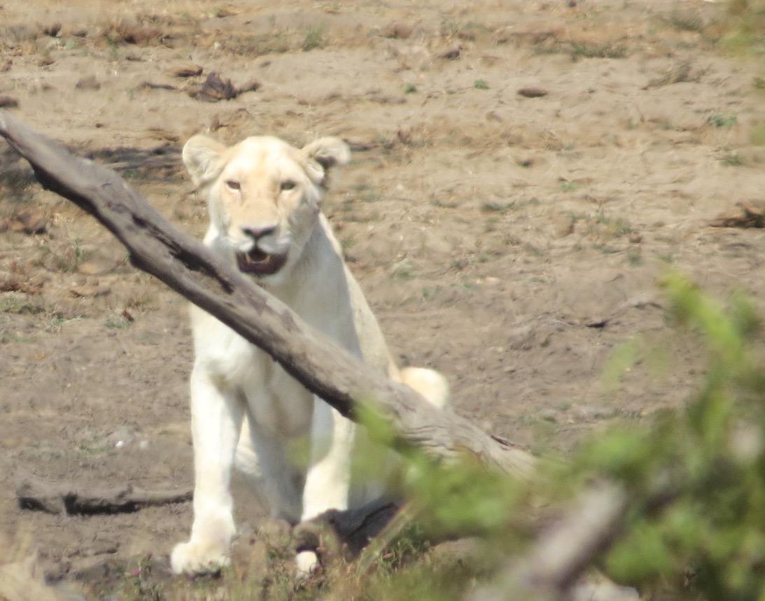 white lioness africa safari southafrica big5