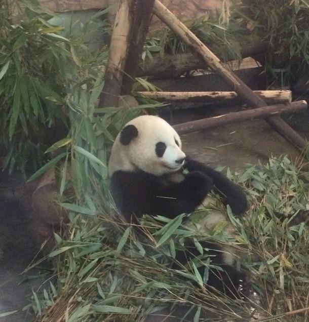chengdu china panda bear breeding center