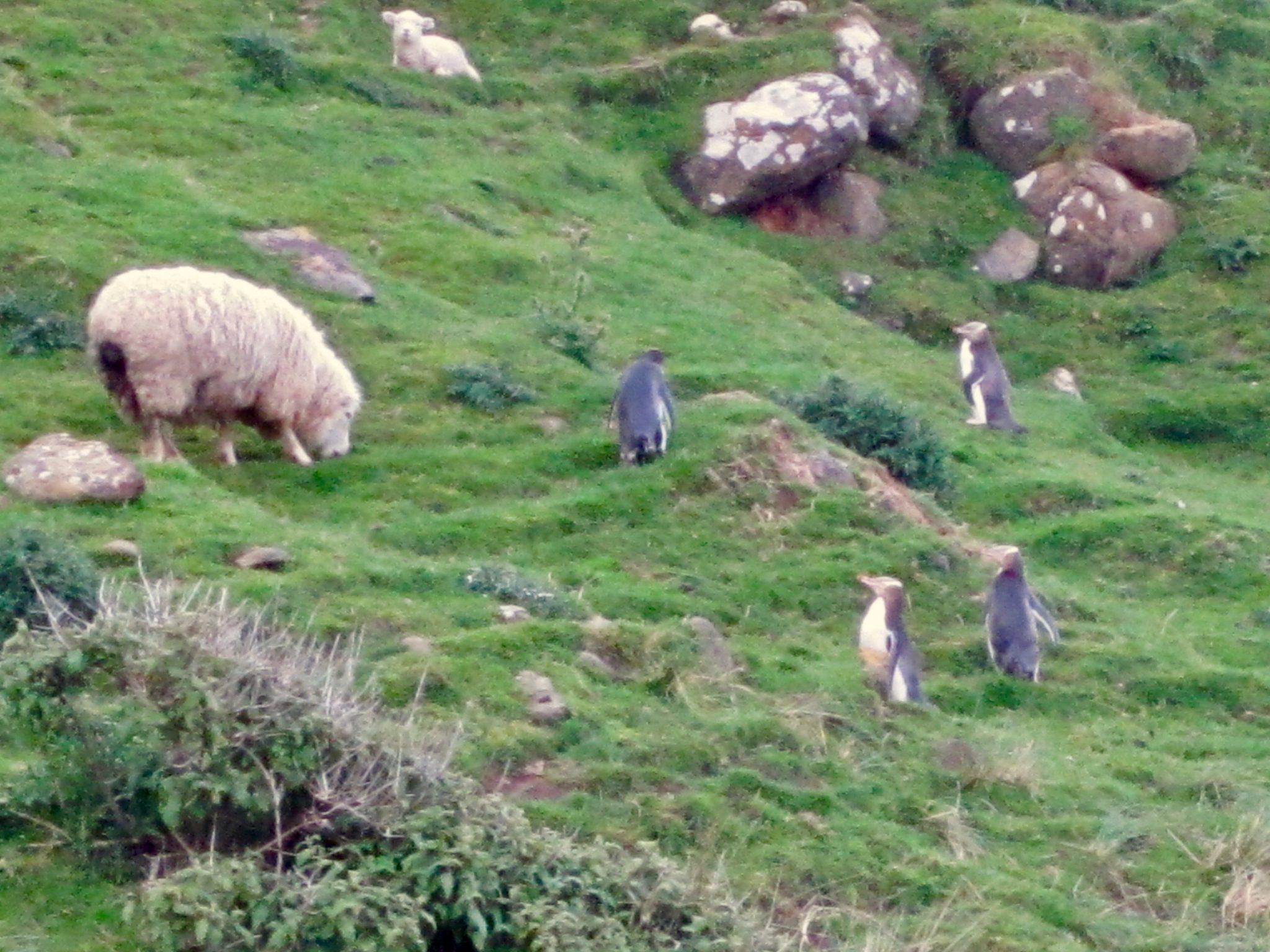 picture of sheep and penguin at penguins place in dunedin new zealand