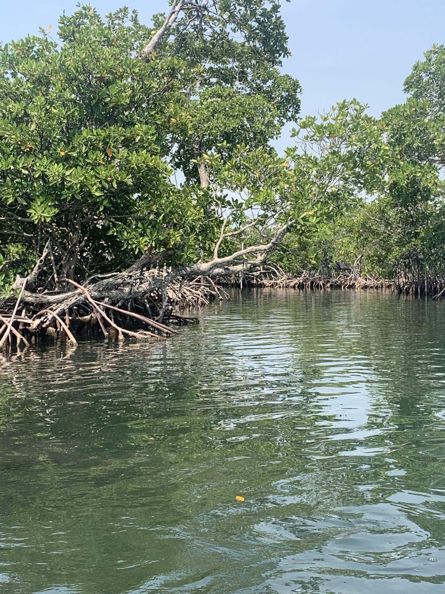 mangrove trees monkey river belize